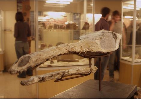 Cráneo del cocodrilo marino en la Universidad de Zaragoza.| Aragosaurus-IUCA