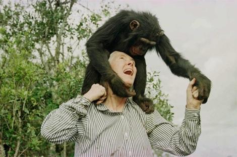 Jane Goodall juega con un chimpancé en un refugio al norte de Nairobi. | Jean-Marc Bouju