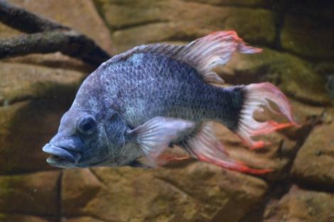 Macho de la especie 'Mangarahara cichlid' en el zoo de Londres. | ZSL