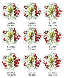 Representación de7 tiorredoxinas resucitadas y de 'E. coli' y tiorredoxina humana. / A. Ingles-Prieto