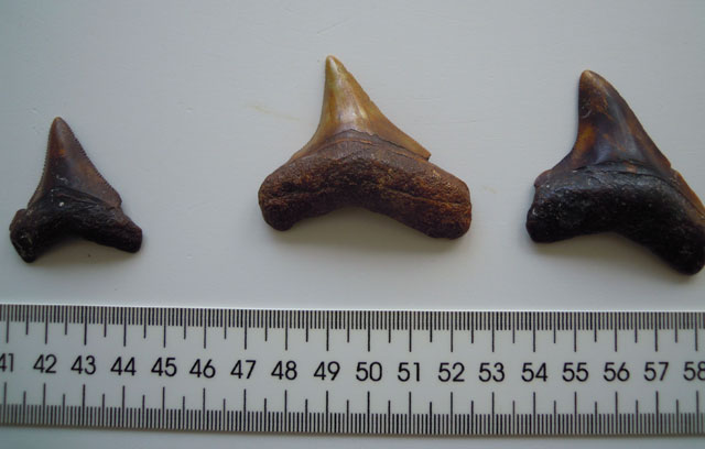 Tres de los fósiles de dientes de megalodón hallados en Canarias.| IEO