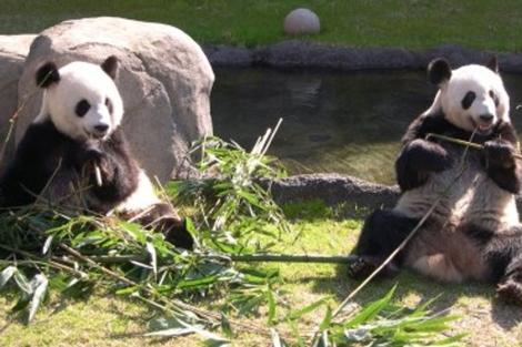 Dos pandas gigantes del Zoológico de Memphis en el estado de Tennessee. | Memphiszoo