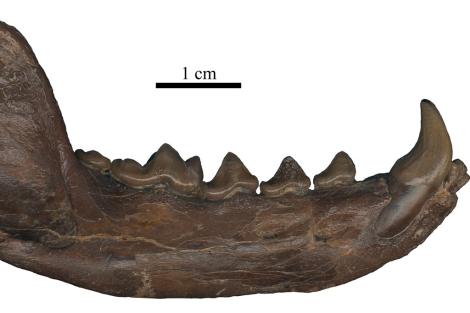Vista lateral de la hemimandíbula derecha. | EM