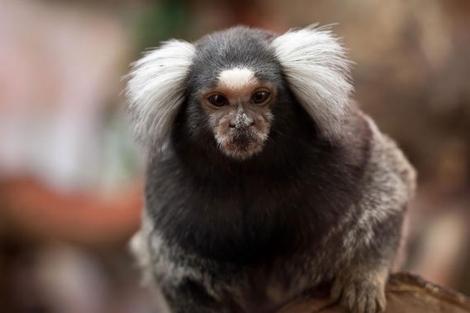 Un mono tití. | Leszek Leszczynski