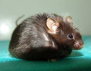 Uno de los ratones obesos del estudio (Foto: Sara Becerril)