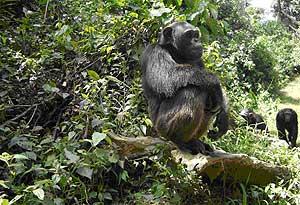 Un chimpancé en el parque nacional de Camerún. (Foto: Nathan Wolfe)