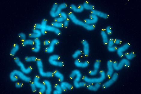 Telómeros en seres humanos.