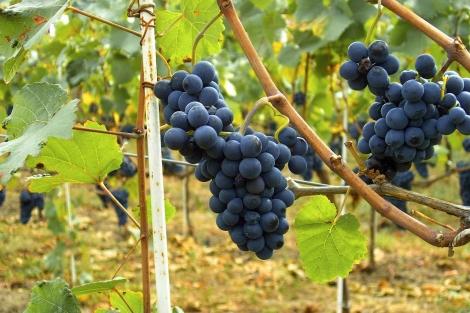 Las uvas parecen proteger frente a la diabetes. | EL MUNDO